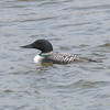 Beacon Hill, common loon: Gavia immer