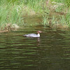 common merganser: Mergus merganser