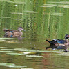Mud Lake,wood duck: Aix sponsa