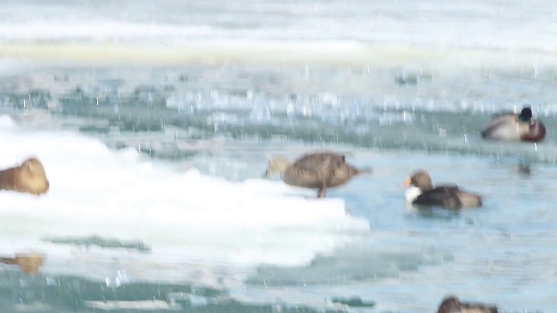 The Eiders clamber onto the ice to loaf as a couple of common merganers cruise by.<br /> Bronte Harbour, king eider: Somateria spectabilis,common merganser: Mergus merganser, Ontario