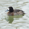 Bronte Harbour, Ontario, female, greater scaup: Aythya marila