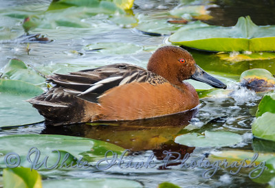 2016-05-11 - Cinnamon Teal, male