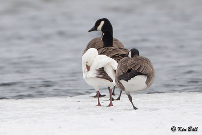 ross's goose: Chen rossii, South Dundas CA-ON