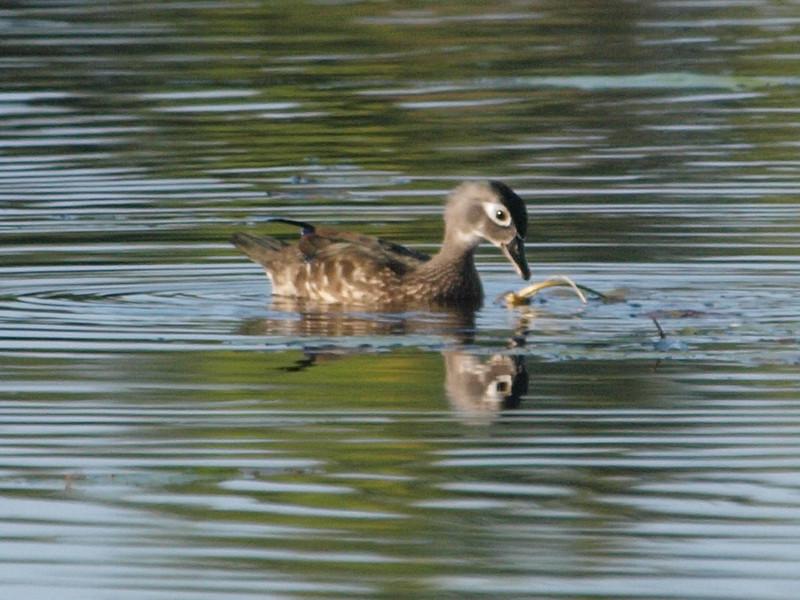 Mud Lake, wood duck: Aix sponsa