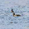 greater scaup: Aythya marila, Willow Road