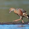 Plumed Whistling-Duck (Dendrocygna eytoni)