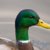 Close up of Mallard Duck, at Juanita Bay Park