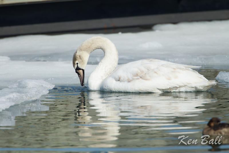 Bronte Harbour, Ontario, tundra swan: Cygnus columbianus