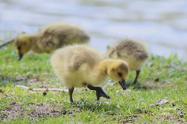 duckling  Toronto Islands, Toronto, Ontario