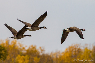 Migrating Canadian Geese in flight. Nine Springs - Madison, WI