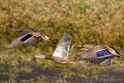 Group of Mallards in flight. Nine Springs - Madison, WI.
