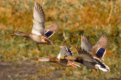 Group of Mallards in flight. Nine Springs - Madison, WI.