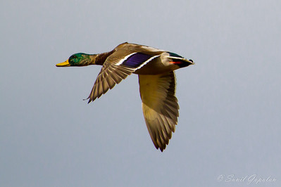Mallard - Drake putting on breeding plumage - in flight. Nine Springs - Madison, WI