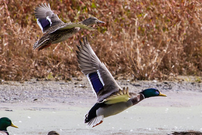 Mallard couple - in flight. Nine Springs - Madison, WI