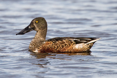Male Northern Shoveler - Eclipse Plumage - Horicon Marsh, WI