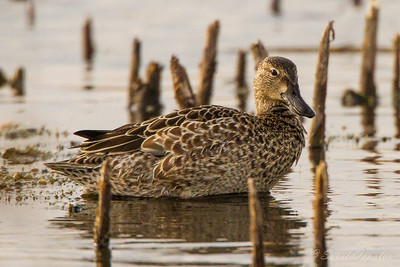 Female Northern Shoveler - Horicon Marsh, WI