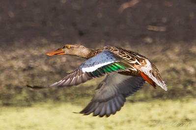 Northern Shoveler - Male - in flight. Nine Springs - Madison, WI.