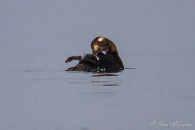 White-Winged Scoter - Picnic Point - Madison, WI 2012