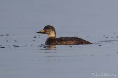 Black Scoter - Picnic Point - Madison, WI 2012