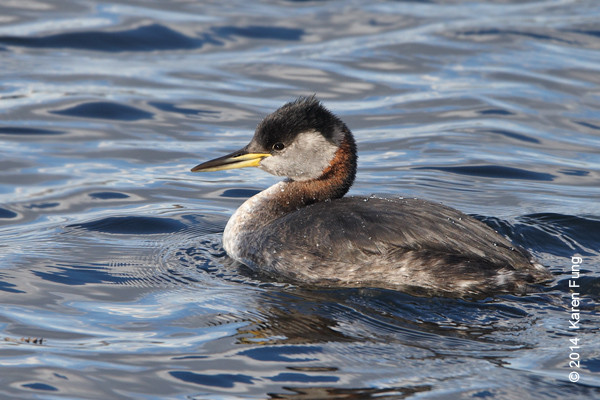 15 March: Red-necked Grebe in Central Park
