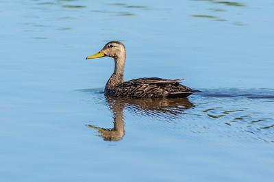 Mottled Duck, drake (Anas fulvigula)