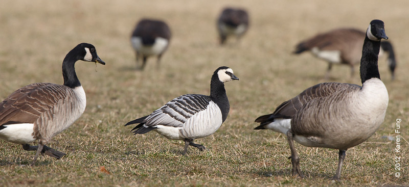 30 November: Barnacle Goose with Canada Geese at Van Cortlandt Park
