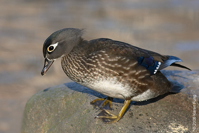 Dec 25th: Female Wood Duck in Central Park (Pool)