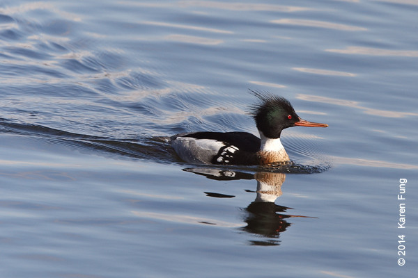 15 March: Red-breasted Merganser in Central Park