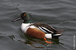 Northern Shoveler in Central Park (Reservoir)