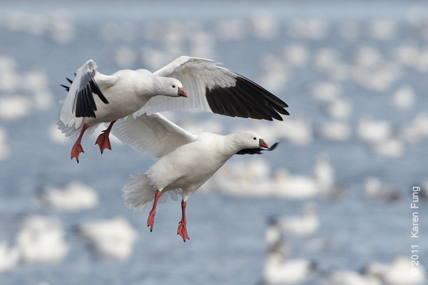 3 December:  A pair of Ross's Geese landing at Bosque del  Apache, NM