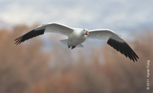 3 December: Snow Goose at Bosque del Apache, NM