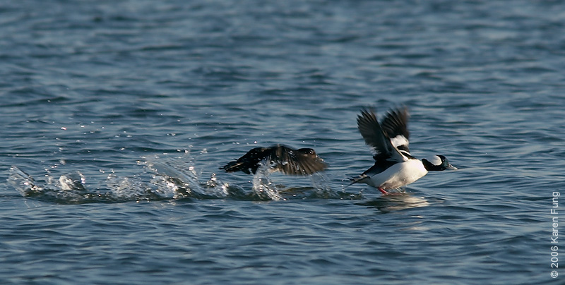 A pair of Bufflehead taking off from Peconic Bay, Long Island (NY).
