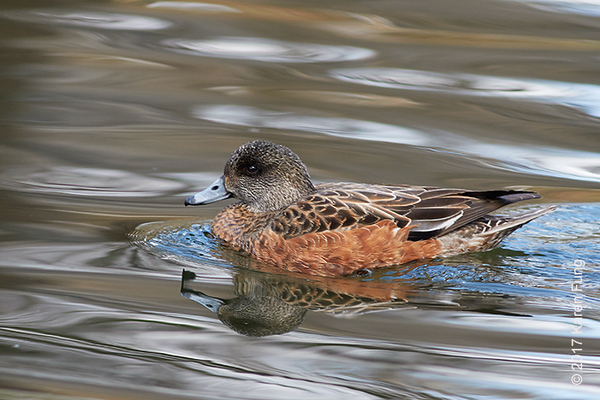 12 March:  American Wigeon in Central Park