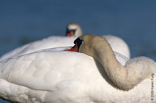 Sept 1st: Slumbering Mute Swans at Jamaica Bay Wildlife Refuge