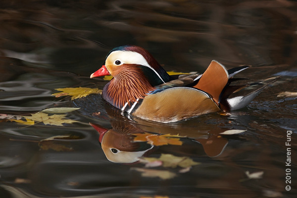 14 Nov: Mandarin Duck in Tappan, NJ