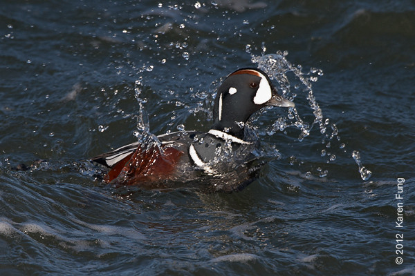 28 January: Male Harlequin Duck splashing at Barnegat Light