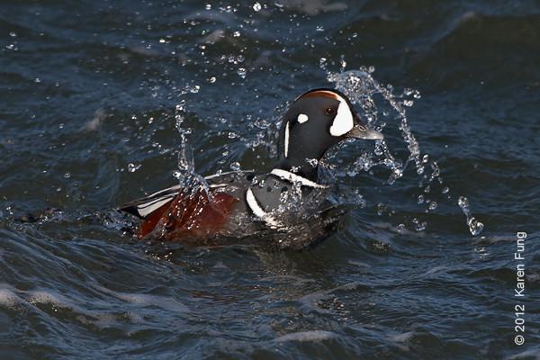 28 January: Male Harlequin Duck splashing at Barnegat Light