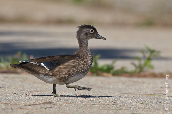 10 Oct: Female Wood Duck in the WE2 parking lot at Jones Beach (!)