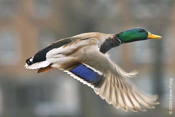 Drake Mallard in Central Park