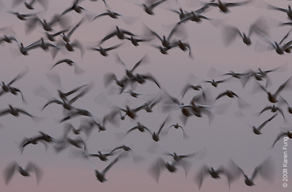 Nov 28th: Snow Geese blast-off at dusk at Bombay Hook NWR, Delaware