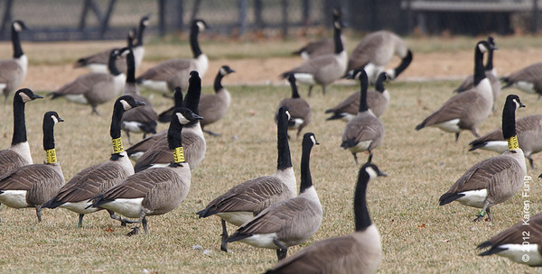 30 November: Canada Geese at Van Cortlandt Park.  The four yellow neck bands read (L to R): RY80, RY64, RY77 and RY63.