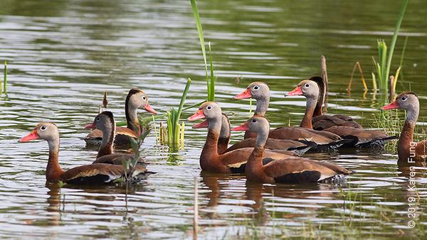 16 June: Black-bellied Whistling-Ducks at Nickerson Beach