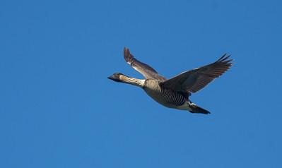 Hawaiian Goose - Nene (Branta sandvicensis)
