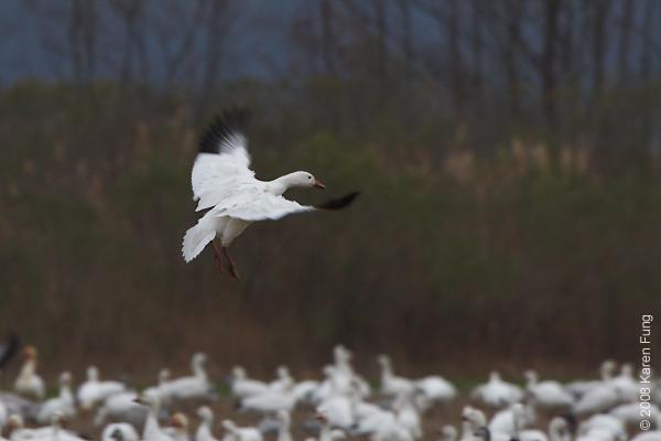 Nov 28th: Snow Geese at dusk at Bombay Hook NWR, Delaware