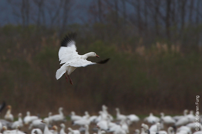 Nov 28th: Snow Geese at dusk at Bombay Hook NWR, Delaware