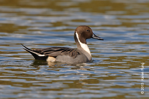 27 Oct: Northern Pintail in Central Park (Harlem Meer)