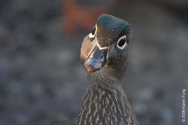 Dec 25th: Female Wood Duck in Central Park.