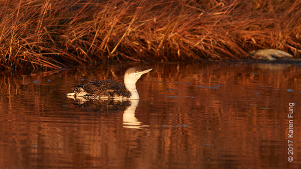 15 Jan: Red-throated Loon at sunset