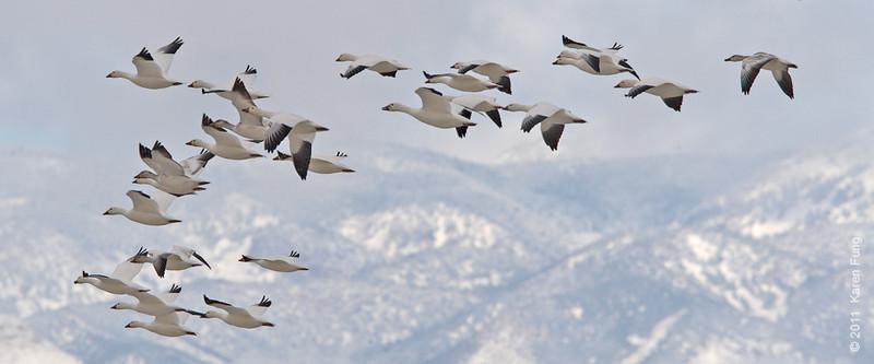 3 December:  Snow Geese landing at Bosque del  Apache, NM