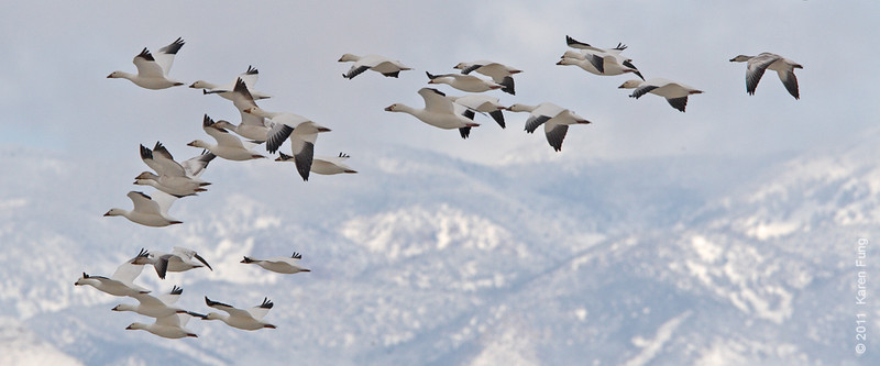 3 December:  Snow Geese landing at Bosque del  Apache, NM